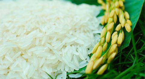 Mỗi giống lúa sẽ tạo ra lượng tinh bột hoàn toàn khác nhau.