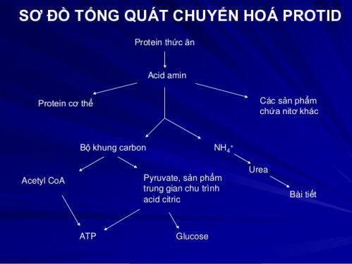 Qua trình chuyển hóa Protein