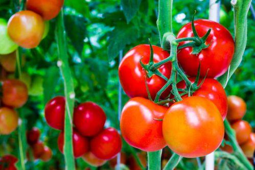 Cà chua giúp bạn kiểm soát cân nặng tốt hơn