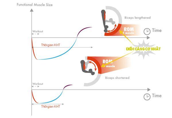 Cơ bắp tại điểm căng nhất (áp lực nhất):