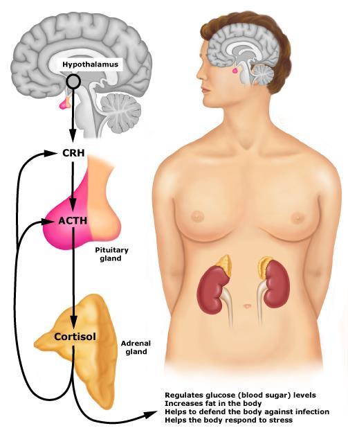 Cortisol là gì ? Cortisol ảnh hướng đến phát triển cơ và giảm mỡ ra sao ?