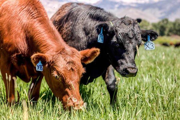 Nguồn CLA từ thịt bò ăn cỏ mới đảm bảo được lượng CLA cần thiết