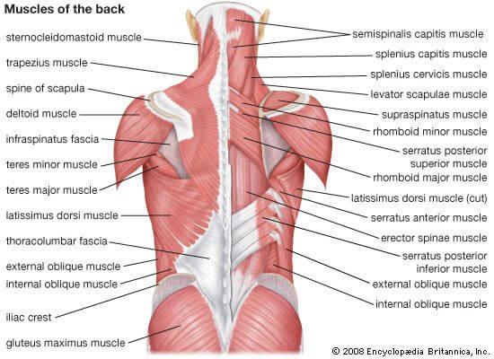 Sơ đồ nhóm cơ lưng