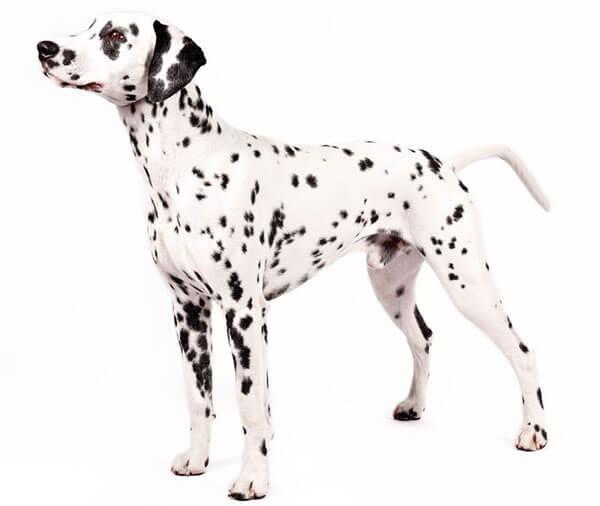Dalmatians (Chó đốm)