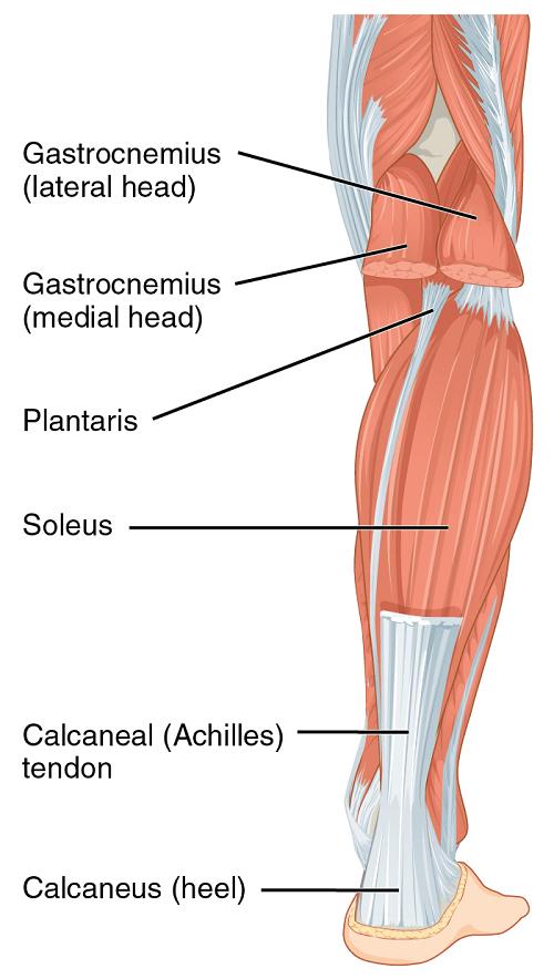 Vị trí cơ soleus và cơ gastrocnemius(Theo Wikipedia)